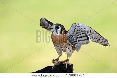 American Kestrel (Falco sparverius) the smallest falcon in North America. Soft green background with copy space.