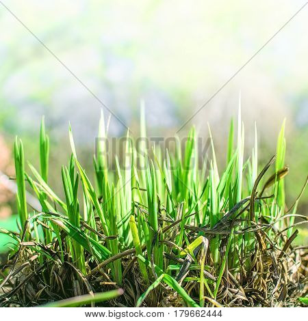 young generation of fresh green grass growing through the old grass