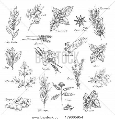 Spices and herbs vector dill, peppermint and anise, rosemary, bay leaf or lavender and cinnamon, basil or sage, parsley and vanilla or thyme, arugula, oregano or clove and ginger or tarragon seasoning