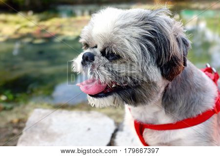 closeup Shih Tzu puppy with red harness natural scenic ride in the park, cute small dog hairy messy sitting amid the tranquility of nature