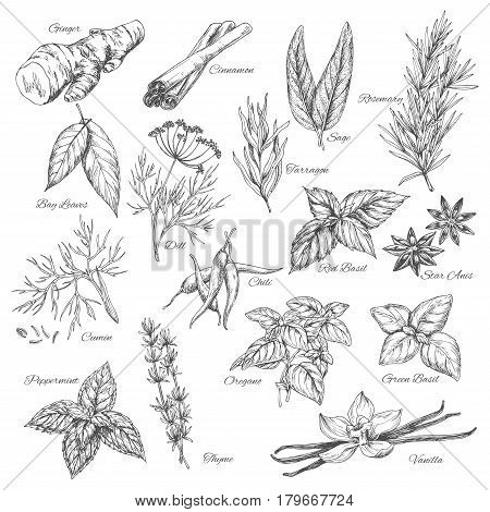 Herbs sketch of ginger and cinnamon, rosemary, sage and tarragon, dill and bay leaf seasoning. Flavoring dill, anise or basil and chili pepper, cumin, oregano and peppermint, vanilla and thyme
