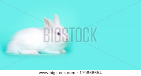 Spring and Easter concept image. Front view of one white bunny rabbit sitting on its paws, over a light blue mint background. High resolution image with copy-space.