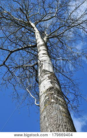 The trunk of a tree is poplar (aspen). The time of year is spring, March.