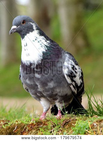 close up of a pigeon looking  a food