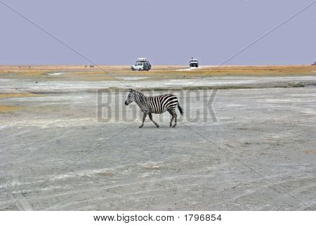 A Common Zebra photographed in the Ngoronogoro Crater poster