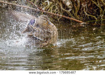 Wild Duck Splashing In The Water Near The Shore