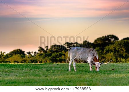 Longhorn cow grazing in a spring pasture with sunset sky