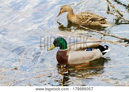 Animal A Wild Drake And A Duck Sail On A Pond