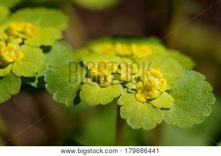 Blooming Golden Saxifrage (Chrysosplenium alternifolium) with bokeh background soft edges shallow DOF