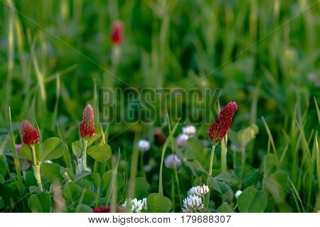 Legume background - close up of crimson clover and white clover blooms
