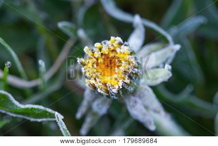 image of a march morning frost on a dandelion, top view