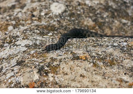 Close up of Big european Non venomous adder snake basking on a mountain road on a sunny warm spring day.