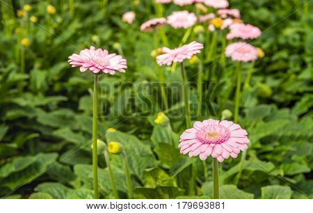 Closeup of a mature pink Gerbera flower between some budding other flowers in the glasshouse of a specialized Dutch Gerbera cut flower nursery.