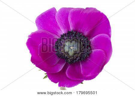 Poppy anemone (Anemone Coronaria) on white background