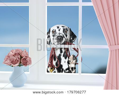 Dalmatian dog with leash looking through the window