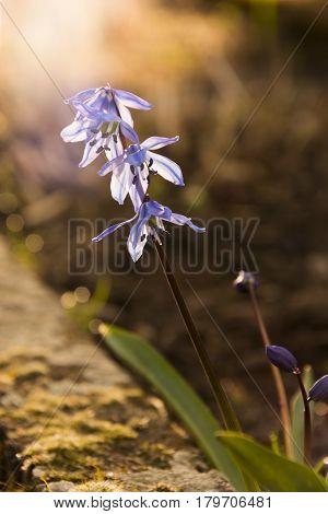 Scilla. Ladoňka. Nice purple flower in morning sunlight. Spring grden. Hyacinthoides