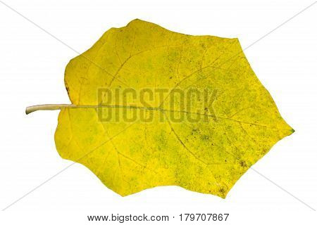 Autumn leaf isolated on white background. One yellow leaf.