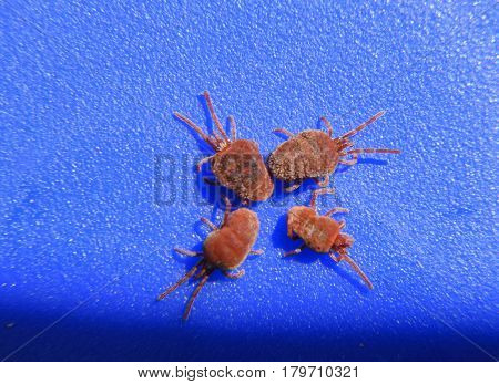 Arthropod Mites On A Blue Background. Close Up Macro Red Velvet