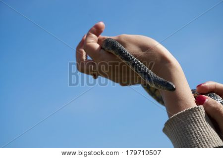 Common viper snake on human hand Caught on a mountain road on a sunny warm spring day with blue sky background.