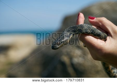 Common viper snake on human hand Caught on a mountain road on a sunny warm spring day with rocks and blue sea in the background.