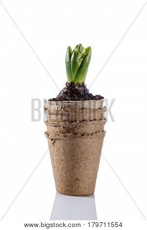 Hyacinth flower seedling in peat pot isolated on white. Springtime. Gardening concept.