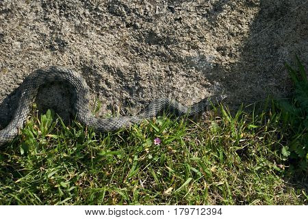 Non venomous adder snake hunt in the green grass on a sunny warm spring day.