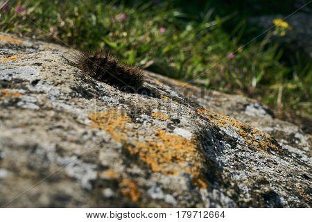Black Woolly Bear (Arctiidae) caterpillar crawls over the stone on a sunny spring day.