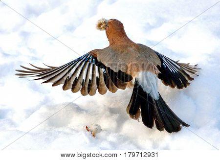 Eurasian jay in flight (lat. Garrulus glandarius) with food. Closeup. Forest, winter, cold.