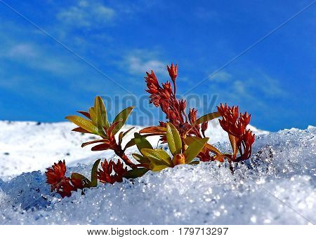 The first flowers from under the snow on a background of the blue sky. Subpolar Urals, Russia