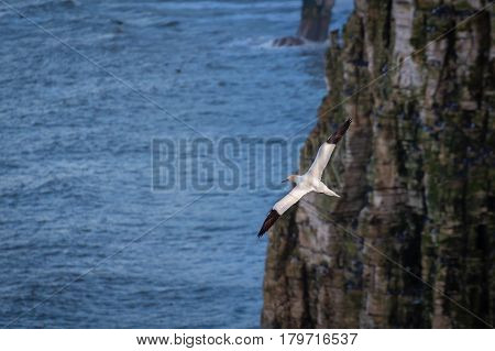 Flying Gannet near cliff face - Bempton Cliffs just north of Flamborough Head on the North Yorkshire coastline is home to many seabirds