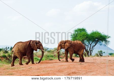 Two elephants are fighting in the savanna