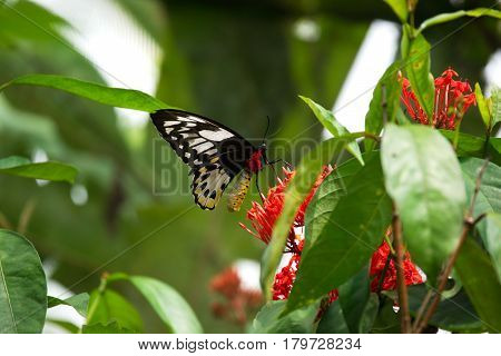 Close-up black red colored butterfly sitting on red flower eating its nectar to feed itself in the sun.