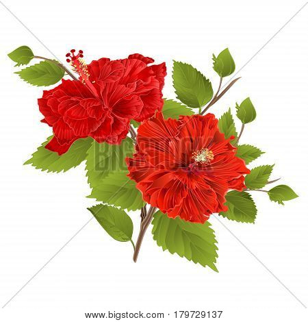 Two red hibiscus hibiscus stem tropical flower on a white background vintage vector illustration