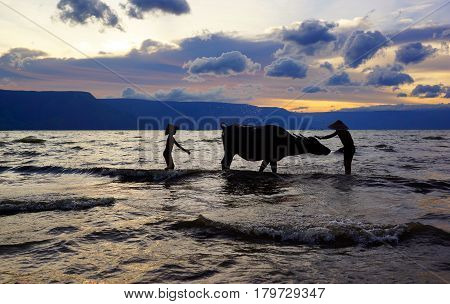 Two Indonesian boys washing their cow with ocean water to clean their cow at sunset in the ocean on the beach.