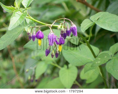 Climbing Nightshade Flowers