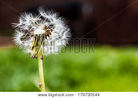 macro dandelion in garden with blurred background