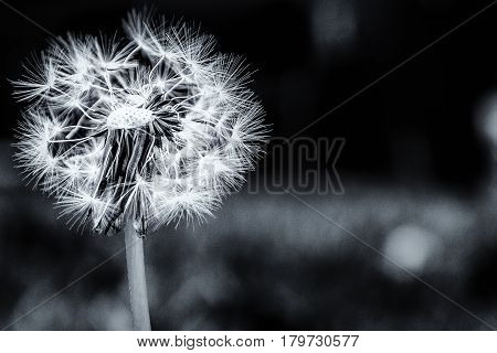 Dandelion In The Garden