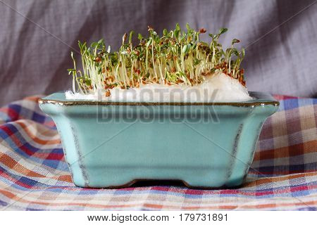 Fresh green sprouts of watercress in clay pot