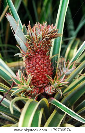 Red skin pineapple ananas growing out of its green leaved tree on a plantation in the morning used for commercial sale.