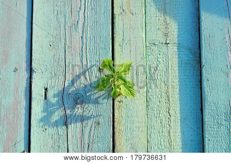 An old weathered green painted fence close up. Light shining on a green sprout sustainable energy. Young shoot of nettle.