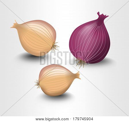 Isolated onion yellow and purple photorealistic design with shadow illustration on white background vector EPS 10