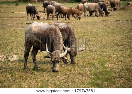 Buffalo and herd are eating grass in outdoor farm park