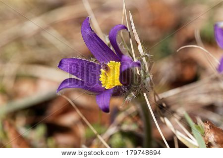 Common pasque flower (Pulsatilla vulgaris) on a meadow.
