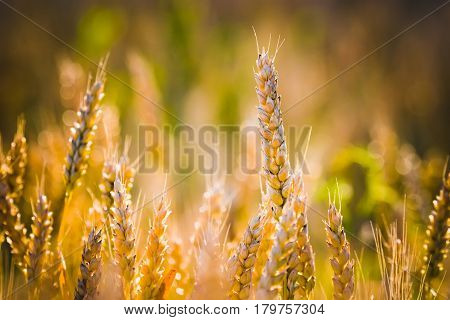 Summer. Sunset. Ripe spikelets of wheat on a green background. Horizontal frame. Soft focus.