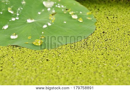 drop of water rolling on lotus leaf and aquatic weed