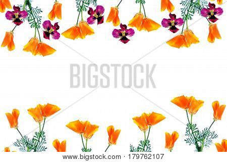 spring flowers eschscholzia isolated on white background. pansy