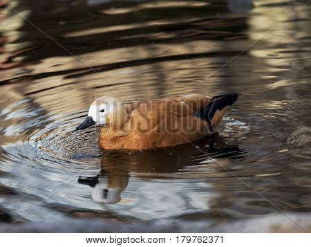 Tadorna ferruginea bird of the family Anatidae own Eurasia and North Africa