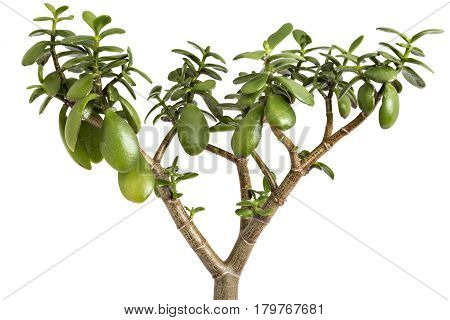 Crassula ovata tree on a white background. Crassula branch with leaves close-up