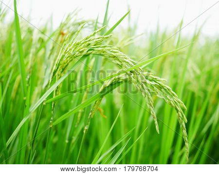 Close up green rice field natural background.