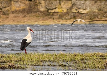 White stork expecting pair flying to him